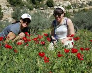 Poppies Susan Gina
